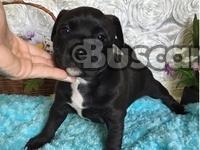 camada de American Staffordshire Terrier cachorros