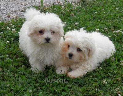 Absolutamente MAGNÍFICOS cachorros malteses