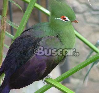 Turaco persa ( Tauraco persa)