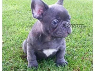 Bulldog francés domesticado.